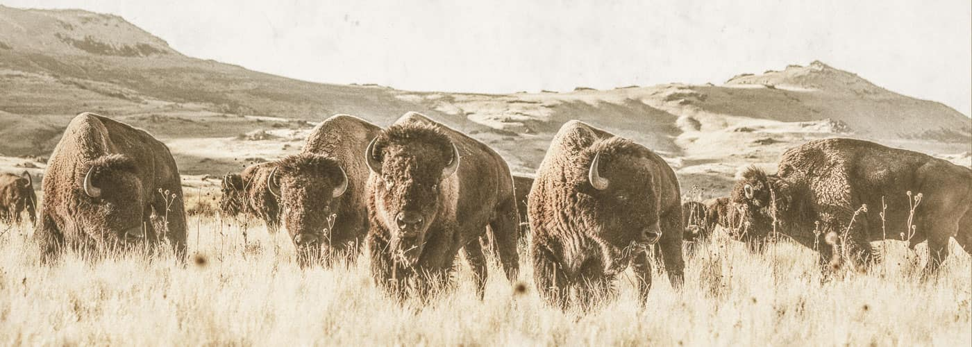 Buffalo roaming on the Epic Provisions ranch